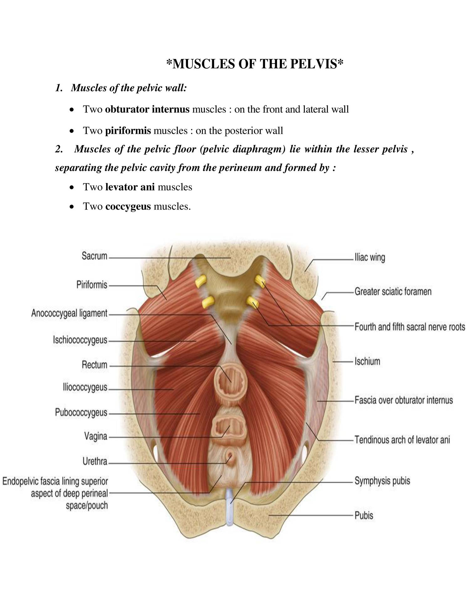 Anatomy muscles of pelvis.doc - DocDroid
